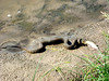 Snake trying to swallow a fish along river
